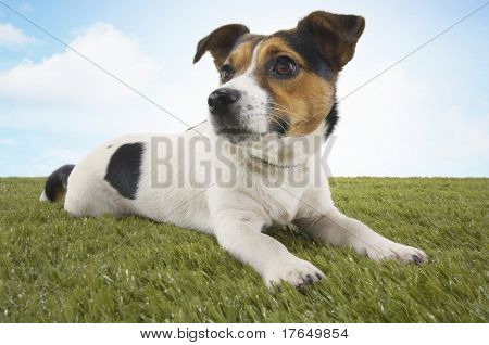 Jack Russell terrier lying in grass, head up