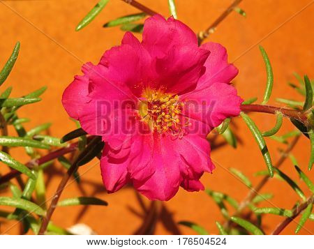 Pink Portulaca flower in bloom in a summer garden against a terracotta pot background Moss Rose