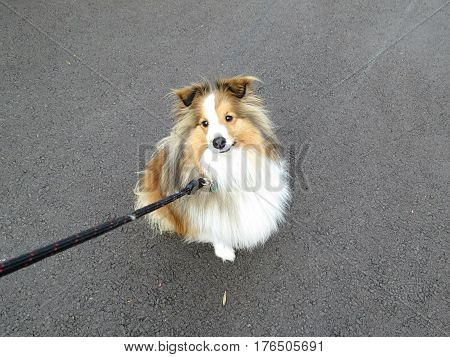 Shetland sheepdog sheep dog Shelty Sheltie out for a walk on leash