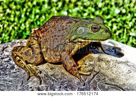 North American Bullfrog on a rock in the sun