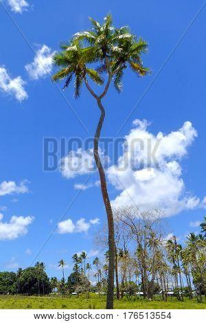 Double-headed coconut tree on Tongatapu island in Tonga. Tongatapu is the main island of the Kingdom of Tonga.