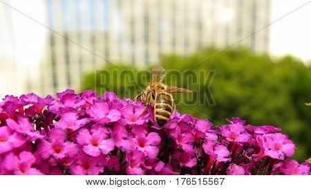 Butterfly Bush Buddleja Buddleia Purple flowers in bloom in garden with bee