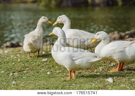 White Sleep Ducks