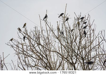 Many Black Crows On The Tree
