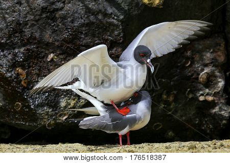 Swallow-tailed Gulls Mating On Genovesa Island, Galapagos National Park, Ecuador