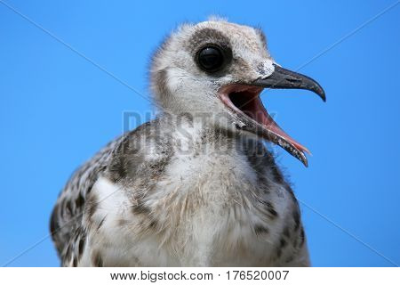 Baby Swallow-tailed Gull On Genovesa Island In Galapagos National Park, Ecuador