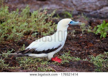 Red-footed Booby (sula Sula) With A Stick In Its Beak
