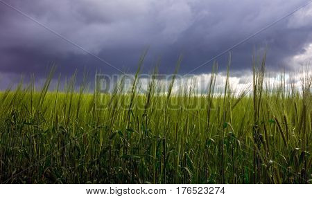 spikelets of wheat in a field on a background of storm clouds