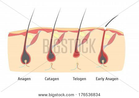Human Head Hair Growth Cycle in Cut for Card, Placard. Vector illustration