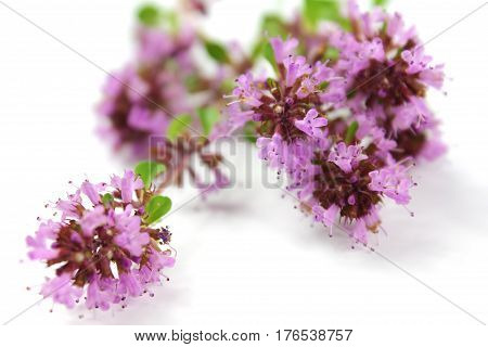 Thyme flower isolated on the white background.