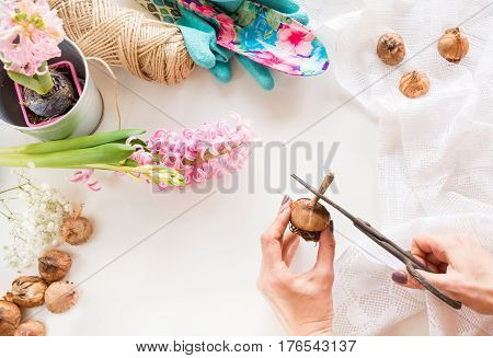 Gardening concept and workshop. Still life of seedling hyacinth garden tools scissors twine tubers-bulbs gladiolus with copy space. Top view. Spring background.