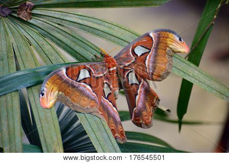 Atlas moth spread the wings largest butterfly in the world