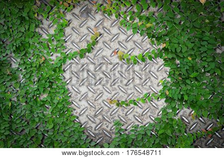 Ornamental plants or ivy or garden tree with old metal diamond plate or old checkered steel plate with rusty for background.