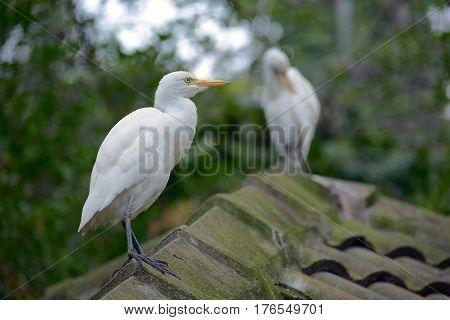 Cattle Egrets sitting on the ridge of the slate roof