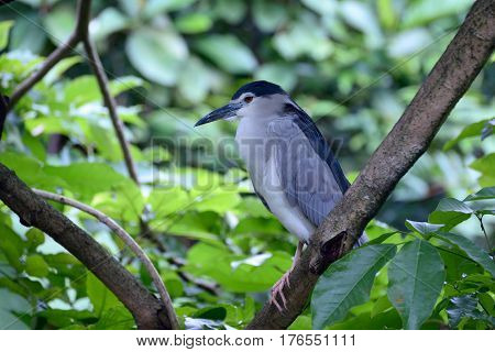Black-crowned night heron is sitting on a tree branch
