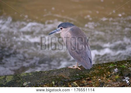 Black-crowned night heron is sitting on the bank of the raging river