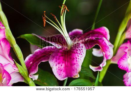 Beautiful purple Lily flower against blury background