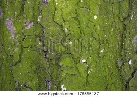 Tree bark texture abstract fone moss, anophyte