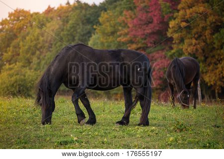 Friesian horse and autumn landscape. Autumn season.