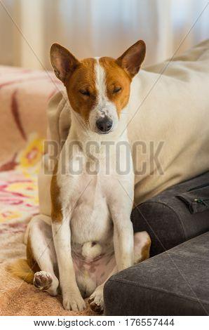 Portrait of Basenji dog nodding on a sofa in sitting pose