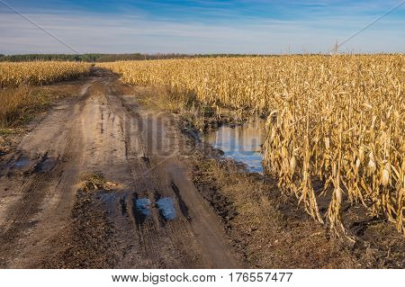 Landscape with dirty country road between agricultural fields with maize in central Ukraine at late autumnal day