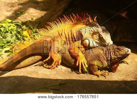 Iguana Couple Mating Coiting Picture