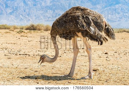 Female of of African ostrich (Struthio camelus) in desert nature reserve near Eilat, Israel