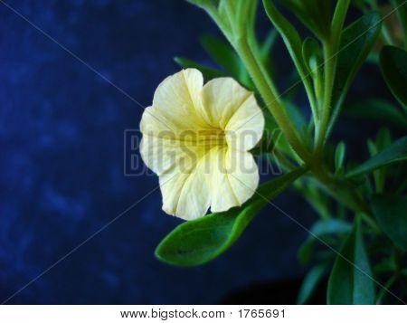 Yellow Calibrachoa