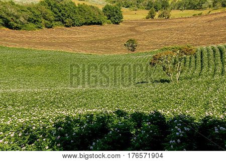 Fields planted with potatoes in bloom. Coordillera of the Andes. Bogota region. Colombia.