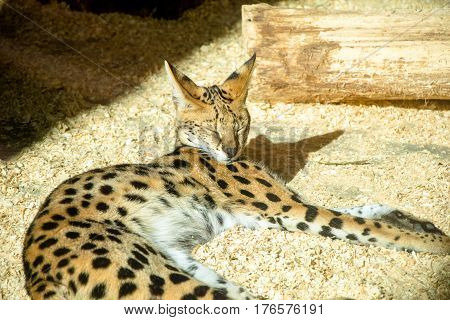 African Serval cat basks in the sun