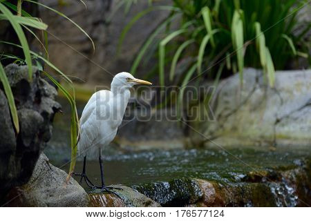 Egret walking along the edge of a small waterfall