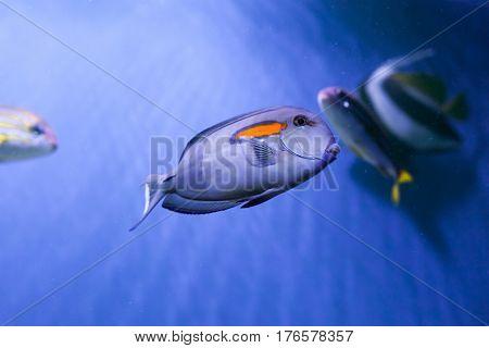 Orangespot surgeonfish close up under sea acanthurus olivaceus