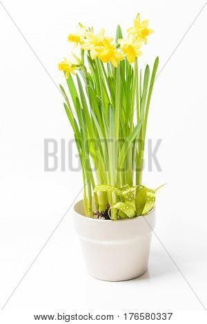 Rush daffodils (Narcissus jonquilla) in a pot on a white background