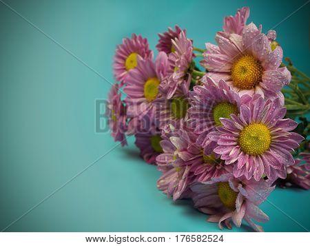 Beautiful chrysanthemum as background picture. Chrysanthemum wallpaper.