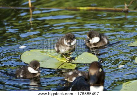 Wild Ducks On A Lily Pond In The Spring