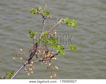 Flora over water with ornamental cherries from last year still on the stems.