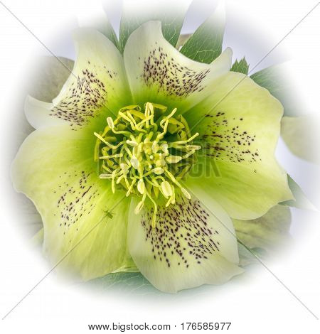Close up view of Hellebores on a plain background.