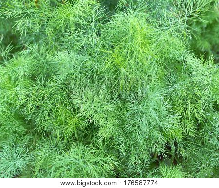 Dill plant in the garden. Green background with dill. Fennel leaves