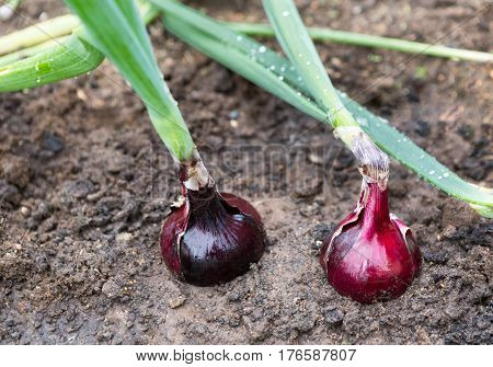 Onion plantation in the vegetable garden. onion growing. Onions growing in rows on a field