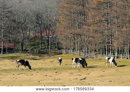Cows On The Grass Field In Autumn