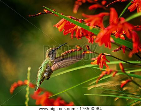 Anna Hummingbird feeding from red crocosmia flowers