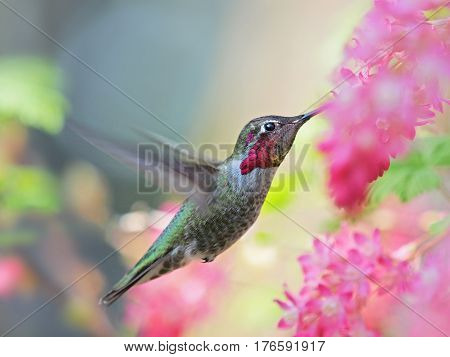 Anna Hummingbird feeding on the fly from pink flowers background blurred