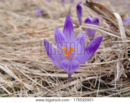 Beautiful purple spring flowers , saffron , crocus , (Crocus heuffelianus)