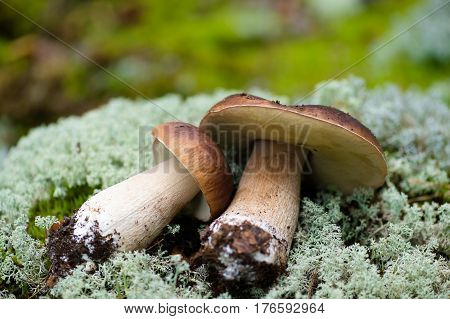 two large white mushrooms lying on moss
