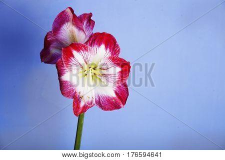 Amaryllis flower. Amaryllis flower on a blue background