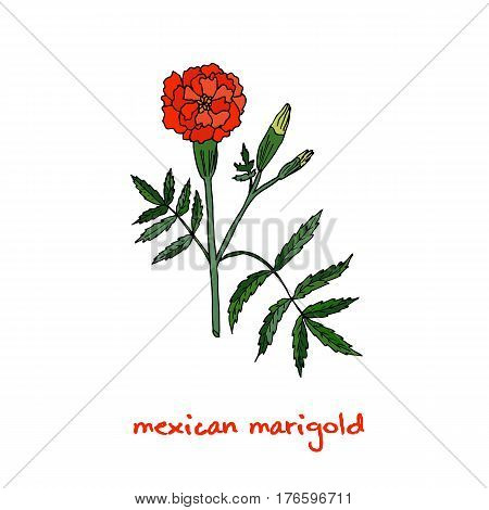 Tagetes, or french marigold, hand drawn botanical vector illustration. Hand drawn botanical vector illustration