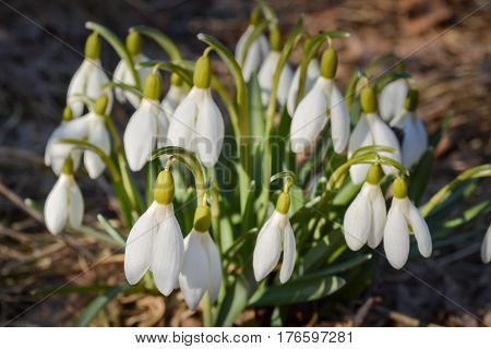 Snowdrop flowers in sunny day. Group of white spring flowers (galanthus nivalis) as a symbol of spring. Fresh green with white blossoms. Snowdrops flowering season.