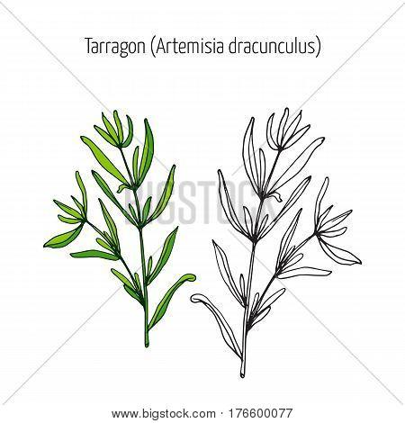 Tarragon, aromatic kitchen herb. Hand drawn botanical vector illustration