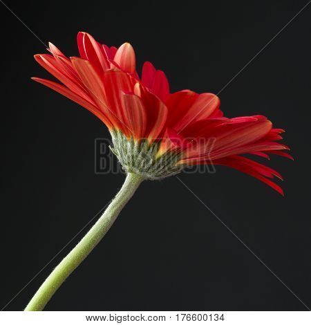 shoot of red gerbera flower with black background