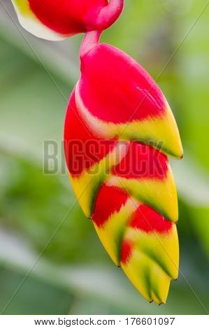 Lobster claw Heliconia. Natural background with exotic tropical flower.